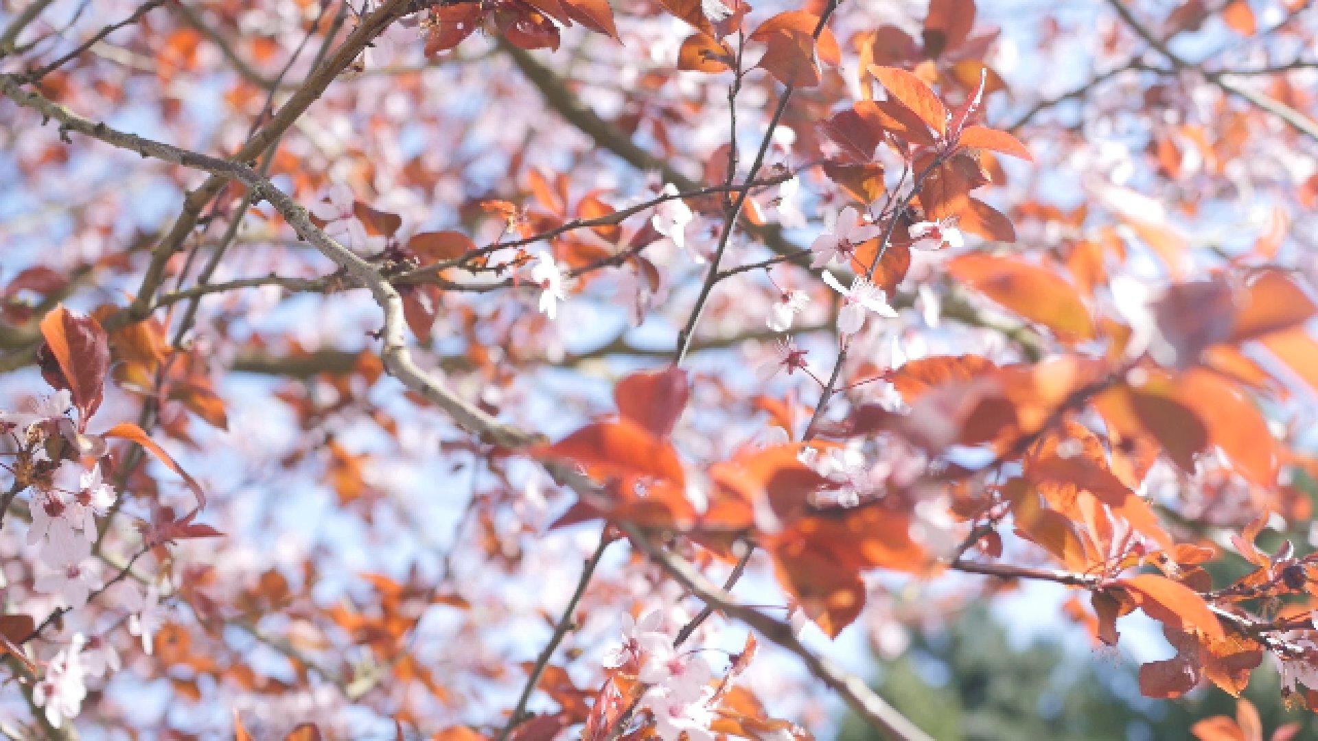 Cerisiers rouges en fleurs 4